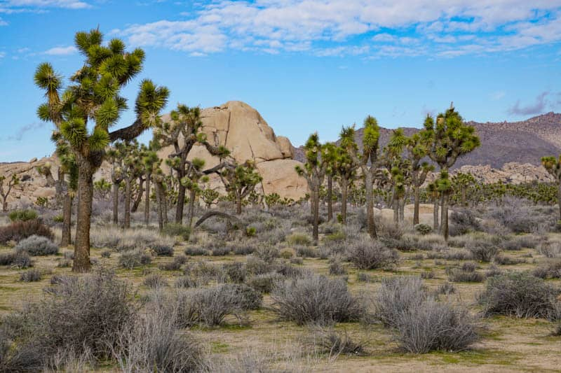 Landscape Joshua Tree NP California