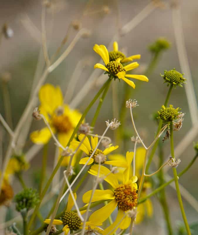 Wildflowers at Joshua Tree NP California